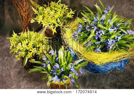 Snowdrops blue yellow floristry  in vases  on the spotted  brown background