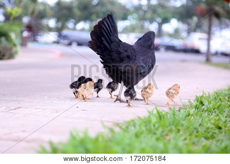 Orpington Chicken with chicks. Orpington is a breed of chicken named after the town of Orpington, Kent, in south-east England.