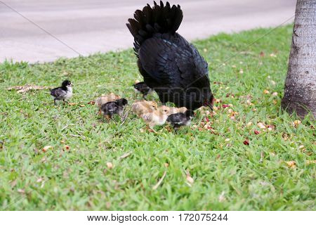 Orpington Hen with chicks. Orpington is a breed of chicken named after the town of Orpington, Kent, in south-east England.