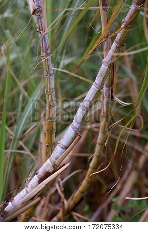 Sugarcane, or sugar cane, are several species of tall perennial true grasses of the genus Saccharum. Wild Sugar Cane plant growing on Maui Hawaii.