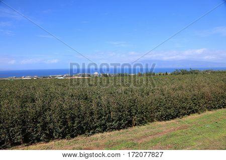 coffee plantation. coffee farm. coffee plants being grown on Maui Hawaii.