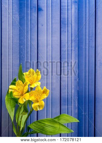 Alstroemeria on blue metal background portrait orientation