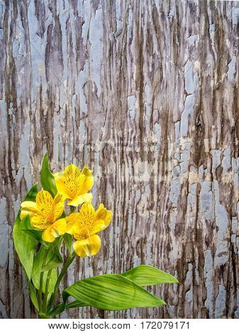 Alstroemeria on blue- grey peeling paint background portrait orientation