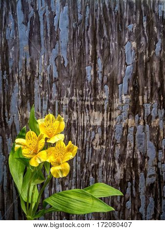Alstroemeria on blue-grey peeling paint background portrait orientation
