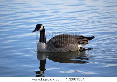 A goose in water in NW Arkansas