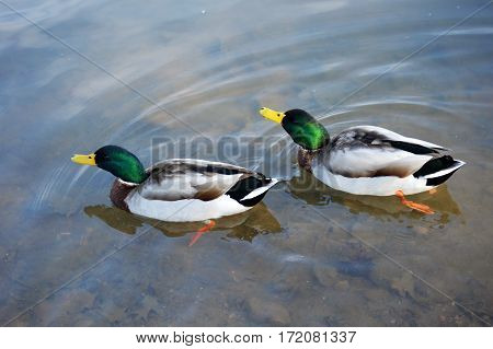 Ducks at the Lake. Swimming Mallard Ducks. Lake Atalanta Rogers Arkansas