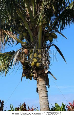 Coconuts. Coconut Palm Tree. coconut palm. palm tree