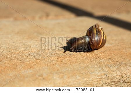 O'ahu tree snail. O?ahu tree snails, form a large genus of colorful, tropical, tree-living, air-breathing, land snails, arboreal pulmonate gastropod mollusks in the family Achatinellidae