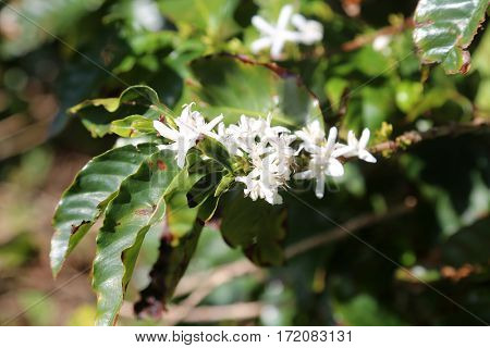 Coffee Flower. White Coffee Flowers on a Coffee Plant with leafs. coffee farm.