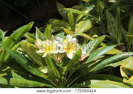 plumeria flower.