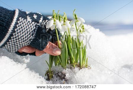 Hand Picking Snowdrop Rising From Snow