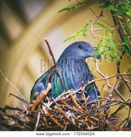 Photo of Nicobar Pigeon (Caloenas Nicobarica) at Nest