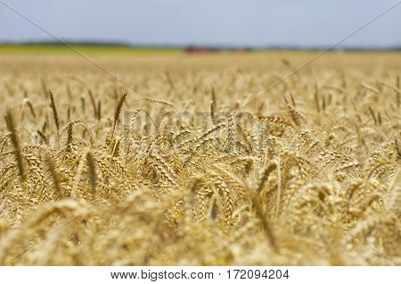 Photo of Golden Wheat Field in Summer Time