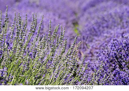 Photo of Purple Lavender Field at Sunny Day