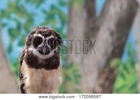 A South American Spectacled owl gazing hypnotically at you with its large eyes which seem to follow you.
