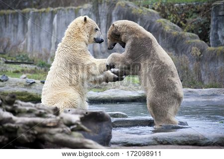 Polar bears is in Alaska, rocks, grass, cold spring.Two male polar bears fight and bite. Polar bears close up .