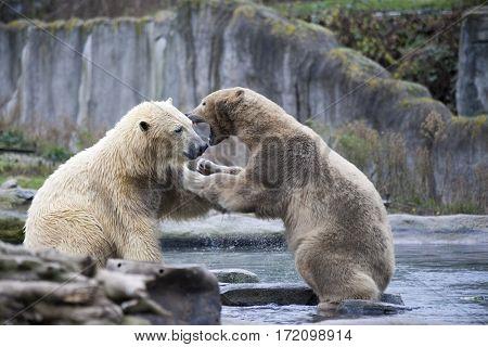 Polar bears is in Alaska, rocks, grass, cold spring.Two male polar bears fight and bite. Polar bears close up .
