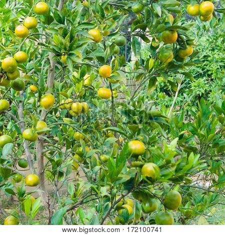 Mandarin tree with fruits and dense foliage. Branches with the ripe tangerines.