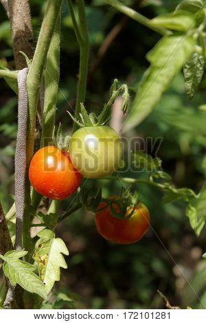 Ripened tomatoes on a branch in a vegetable garden