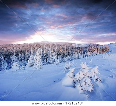 Mysterious winter landscape majestic mountains in winter. Magical winter snow covered tree. In anticipation of the holiday. Dramatic wintry scene. Carpathian Ukraine
