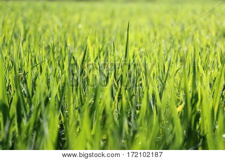 Close up Texture of Rice fields background