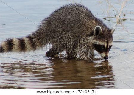Racoon foraging muddy lake bottom for food