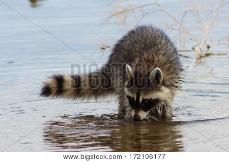 Racoon searching muddy lake bottom for something to eat