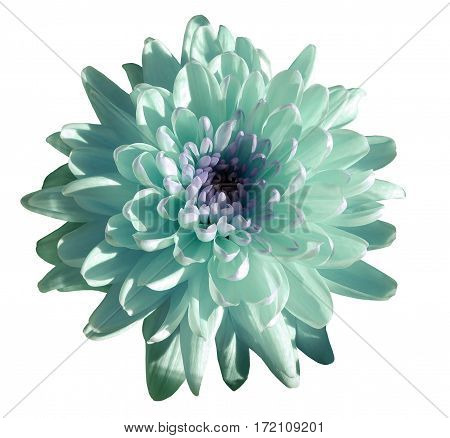 turquoise-blue-white flower chrysanthemum garden flower white isolated background with clipping path. Closeup. no shadows. green centre. Nature.