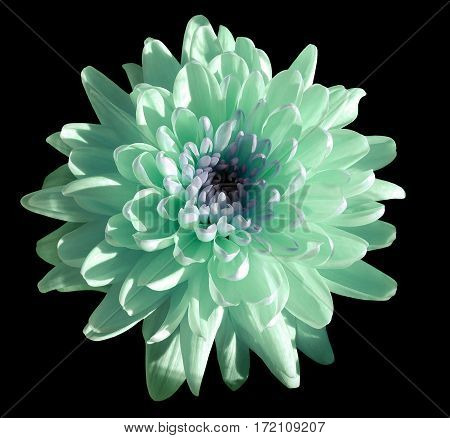 turquoise-blue-white flower chrysanthemum garden flower black isolated background with clipping path. Closeup. no shadows. green centre. Nature.