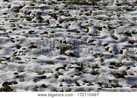 Young plants of winter grain on a snowy field.