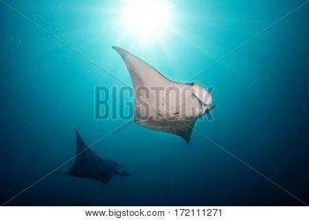 Beautiful big manta rays floating in deep blue ocean, Indian ocean, Maldives