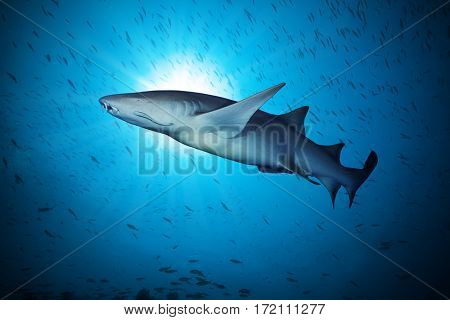 Big sharks floating in deep water blue with sunrays and flock of small fish around