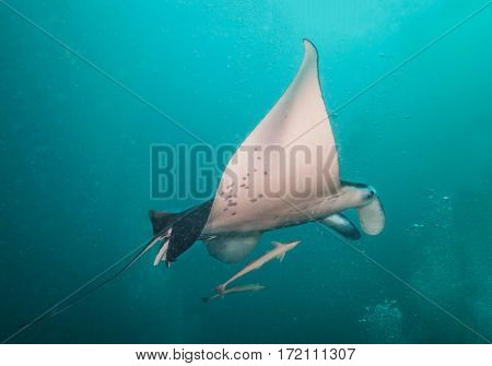Beautiful big manta ray floating in deep blue ocean, Indian ocean, Maldives
