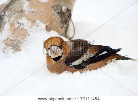 The grosbeak sits on snow under a tree