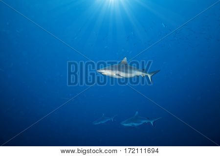 Whitetip sharks floating in deep water blue with sunrays