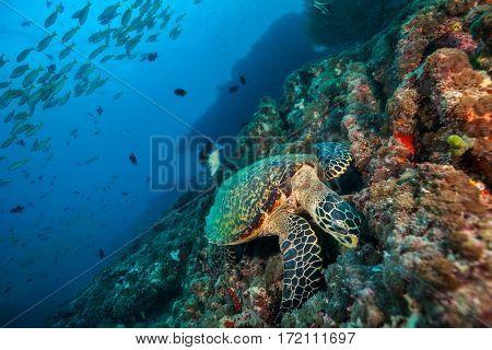 Maldivian hawkbill turtle exploring coral reef. Underwater life and ocean ecosystem
