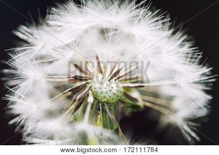 Macro Image Of Dandelion, Small Depth Of Field.