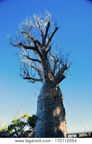 Huge boab tree without leaves in Australia