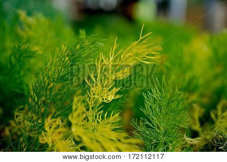 Close-up capture of growing fennels with details - Horizontal