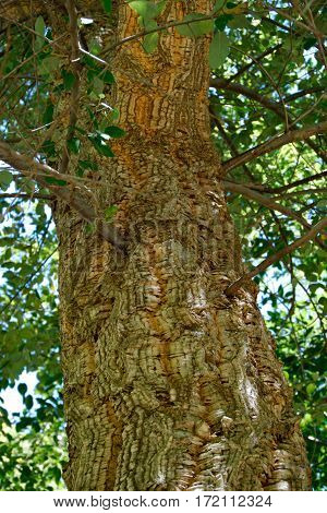The bark of the cork oak tree