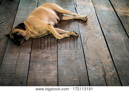 Mixed breed dog sleeping happily on the wooden floor soft and selective focus.