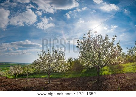 Landscape With Blooming Apples Garden