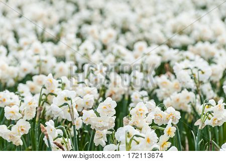 Soft Narcissus Flowers