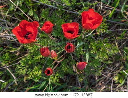 Blossoming Of Red Anemone Flowers At Springtime