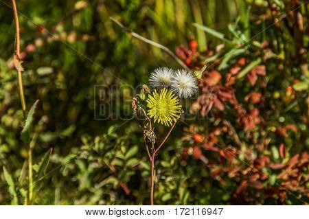 Dandelions showing the flowering and the reproductive stages against a colorful background