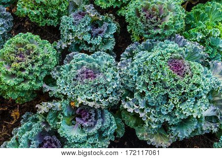 Closeup on top view of cruciferae (Brassicaceae)