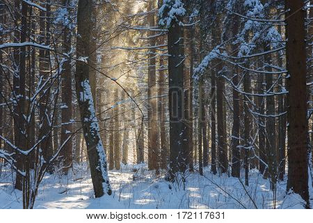 Snowfall in sun inside natural standwith znow wrapped broken tree in foreground, Bialowieza Forest, Poland, Europe