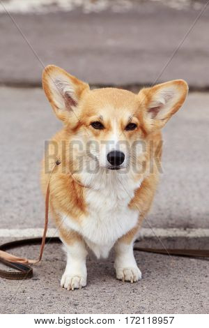 dog breed Welsh Corgi is walking on open air