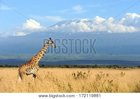 Giraffe On Kilimanjaro Mount Background