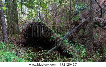 Atumnal landscape of mixed stand with broken tree lying, Bialowieza Forest, Poland, Europe